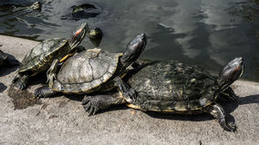 Sköldpaddor i ett damm Arkivbild