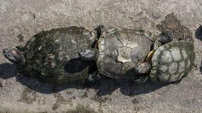 Sköldpaddor i ett damm Royaltyfri Bild