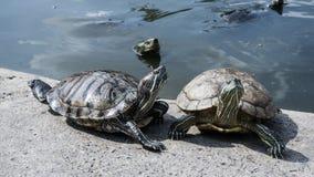 Sköldpaddor i ett damm Royaltyfria Foton