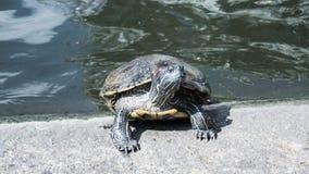 Sköldpaddor i ett damm Royaltyfri Fotografi