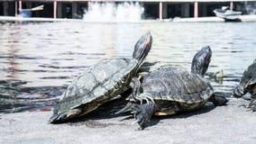 Sköldpaddor i ett damm Royaltyfria Bilder