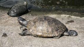 Sköldpaddor i ett damm Fotografering för Bildbyråer