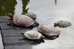 Sköldpaddor i ett damm på en ramp och i vatten i ett kaktusväxthus royaltyfria bilder