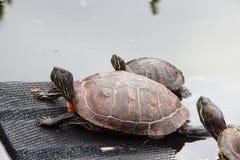 Sköldpaddor i ett damm på en ramp och i vatten i ett kaktusväxthus arkivbilder