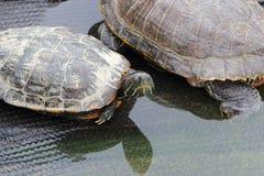 Sköldpaddor i ett damm på en ramp och i vatten i ett kaktusväxthus arkivbild