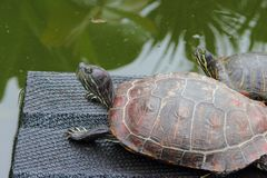 Sköldpaddor i ett damm på en ramp och i vatten i ett kaktusväxthus arkivfoton