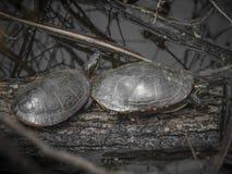 Sköldpaddor i ett träsk Royaltyfria Bilder