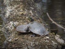 Sköldpaddor i ett träsk Royaltyfri Fotografi