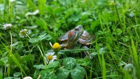 Sköldpaddor i gräset arkivbilder