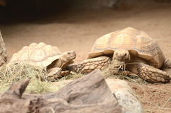 Sköldpaddor i Loro parkerar i Puerto de la Cruz på Tenerife, kanariefågelöar Royaltyfria Bilder