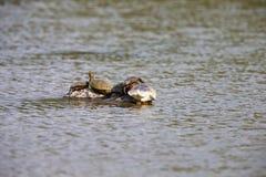Sköldpaddor i mitt av sjön Royaltyfri Foto