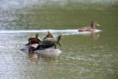 Sköldpaddor i mitt av sjön Royaltyfria Bilder
