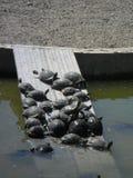 Sköldpaddor i parkerade-laen Paloma-Benalmadena-Spanien Arkivbilder