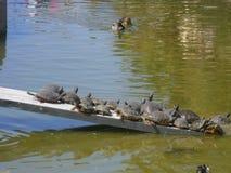Sköldpaddor i parkerade-laen Paloma-Benalmadena-Spanien Royaltyfri Bild