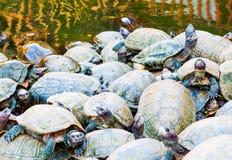 Sköldpaddor i Penang, Malaysia Royaltyfri Bild