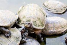 Sköldpaddor i Penang, Malaysia Royaltyfri Foto