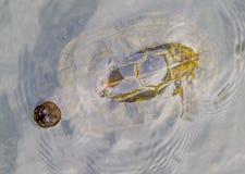 Sköldpaddor i Penang, Malaysia royaltyfria bilder