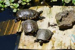 Sköldpaddor i solen på Monte Palace Tropical Garden i Funchal arkivfoton