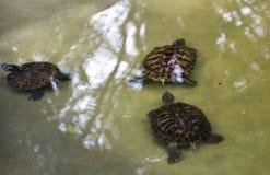 Sköldpaddor i vatten Royaltyfri Bild