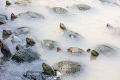 Sköldpaddor i vattnet Arkivfoto