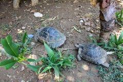 Sköldpaddor kryper på jordningen i sökande av mat Arkivfoto