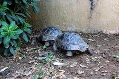 Sköldpaddor kryper på jordningen i sökande av mat Arkivbilder
