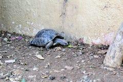 Sköldpaddor kryper på jordningen i sökande av mat Royaltyfria Bilder