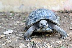 Sköldpaddor kryper på jordningen i sökande av mat Arkivfoton