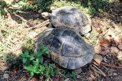 Sköldpaddor kryper på jordningen i sökande av mat Royaltyfri Fotografi