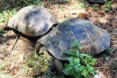 Sköldpaddor kryper på jordningen i sökande av mat Fotografering för Bildbyråer