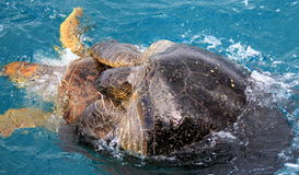 Sköldpaddor & x28; Mounted& x29; Royaltyfria Bilder