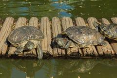 Sköldpaddor på dammet Arkivfoton