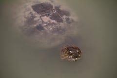 Sköldpaddor på dammet Fotografering för Bildbyråer