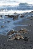 Sköldpaddor på den svarta sandstranden Royaltyfria Bilder