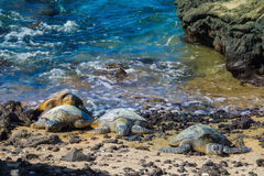Sköldpaddor på den vulkaniska stranden royaltyfri bild