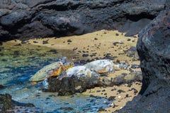 Sköldpaddor på den vulkaniska stranden royaltyfri fotografi