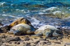 Sköldpaddor på den vulkaniska stranden fotografering för bildbyråer