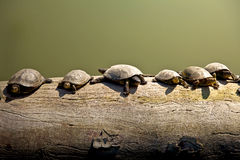 Sköldpaddor på en journal Arkivfoton