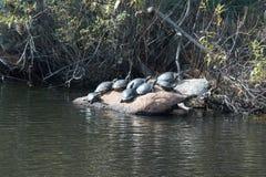 Sköldpaddor på en vagga vid sjön Fotografering för Bildbyråer