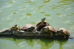 Sköldpaddor på sjön Royaltyfri Bild