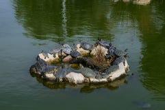 Sköldpaddor på solen i vattnet arkivbild