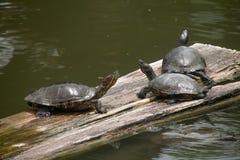 Sköldpaddor på trä arkivbild