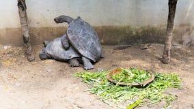 Sköldpaddor parar ihop Royaltyfria Foton