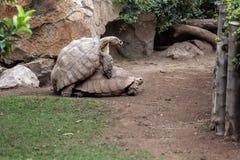 Sköldpaddor som gör förälskelse Arkivbild