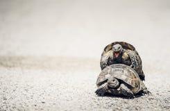 Sköldpaddor som parar ihop på vägen Arkivfoto