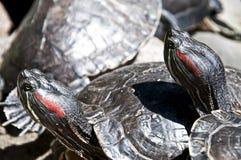 Sköldpaddor som poserar för kameran. Arkivfoton