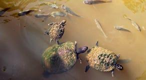 Sköldpaddor som simmar i ett damm Arkivfoto