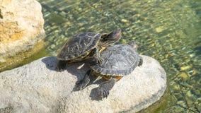 Sköldpaddor som svävar i vattnet arkivbild