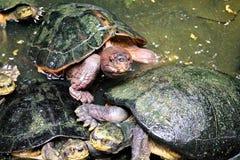 Sköldpaddor tillsammans royaltyfria foton