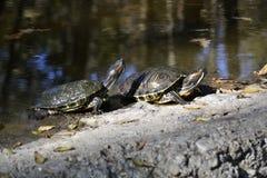 sköldpaddor två Fotografering för Bildbyråer
